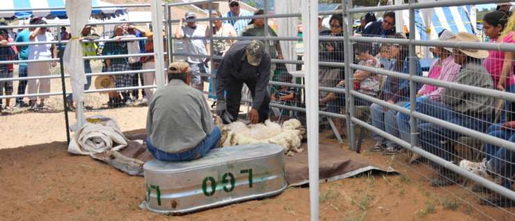 Sheep shearing demonstration at Sheep is Life, 2013