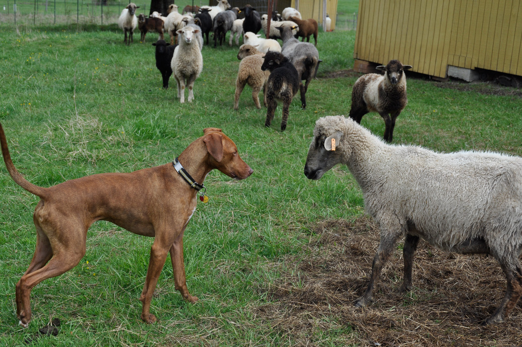 Carne and Champagne square off over lambs