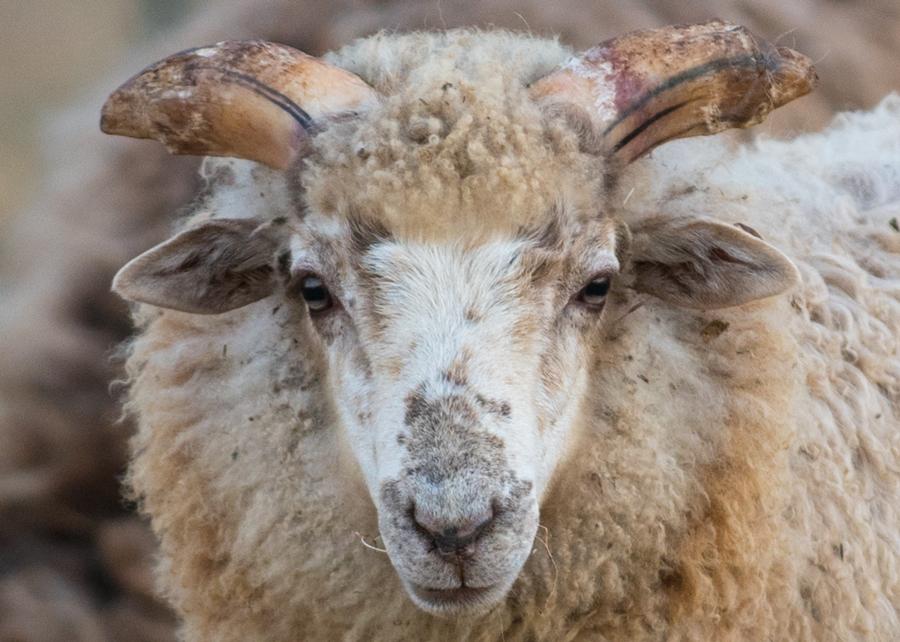 Beautiful ram lamb