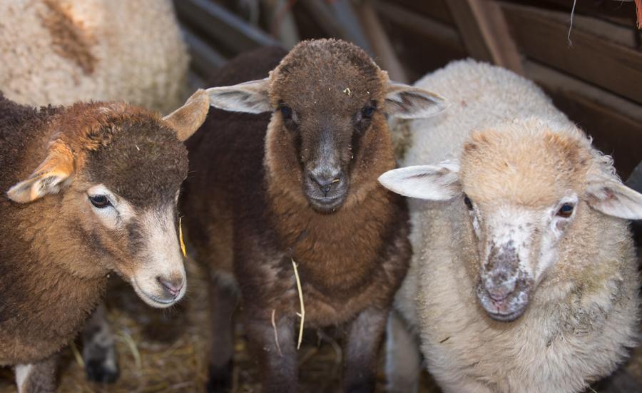 Navajo-Churro Sheep at Dot Ranch
