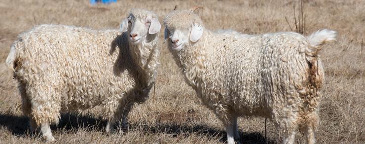 Navajo Angora Goats of Dot Ranch